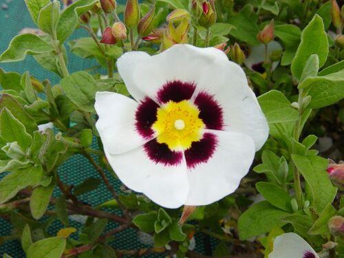 Fleurs cultivées :Halimiocistus