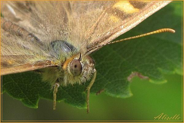 Papillon-4.jpg
