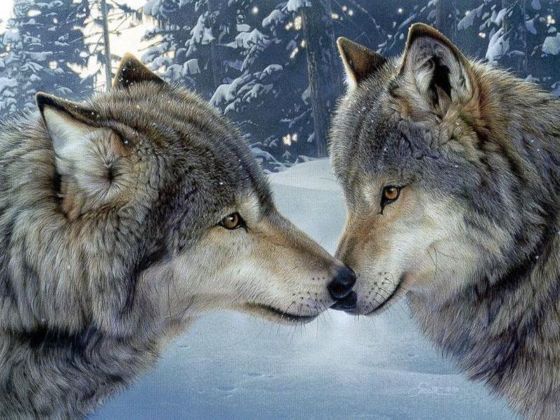 Deux loups intérieurs