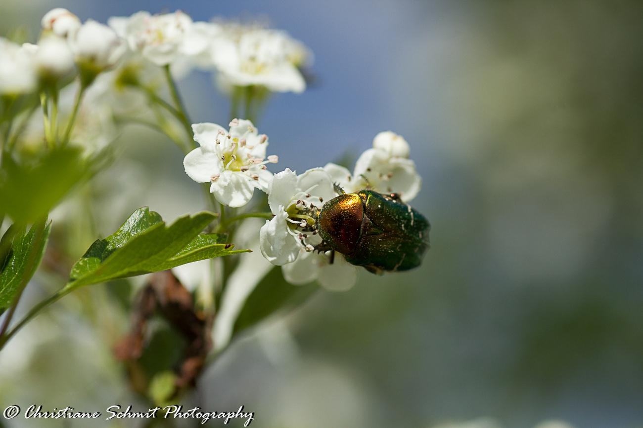 L'arbre aux scarabées