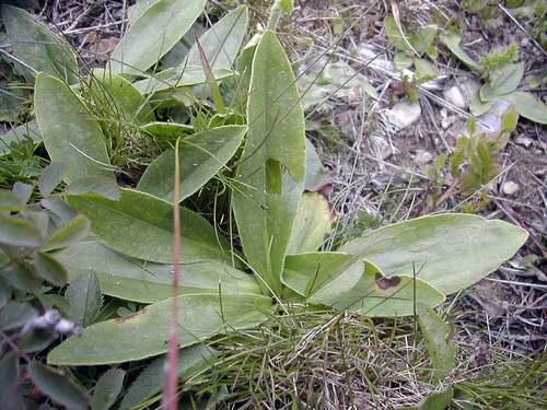 Vertus médicinales des plantes sauvages : Arnica