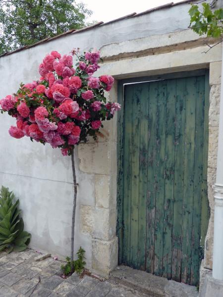 Saint-Marie - rosier tige