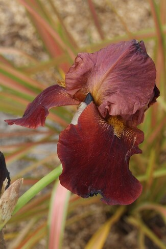 Iris germanica ' Red Orchid ' : surprise !