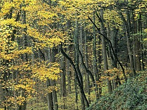 Autumn Forest, Great Smoky Mountains, Tennessee