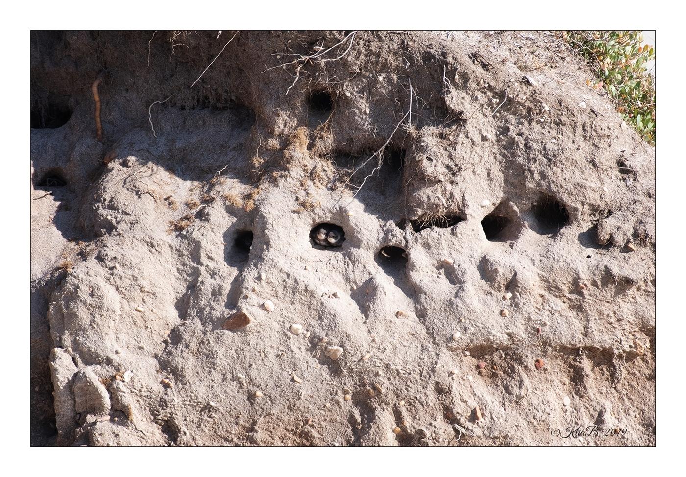 Jeunes Hirondelles de Rivage (Riparia riparia)