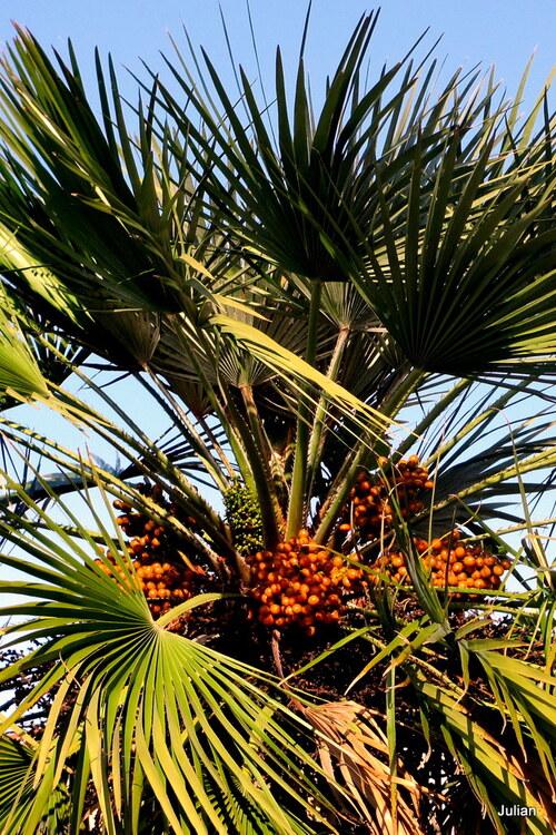 Un palmier de nos parcs et jardins