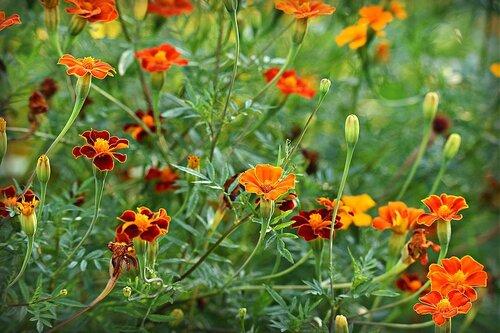 Des aromates et fleurs en aident à nos légumes