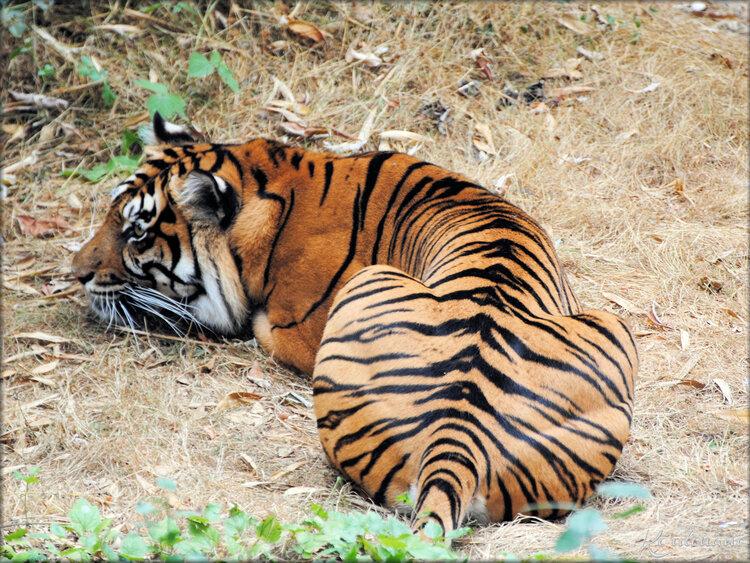 Tigre de Sumatra (Zoo de Doué la Fontaine)