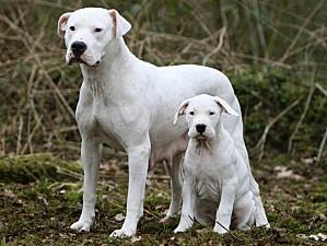 dogue-argentin