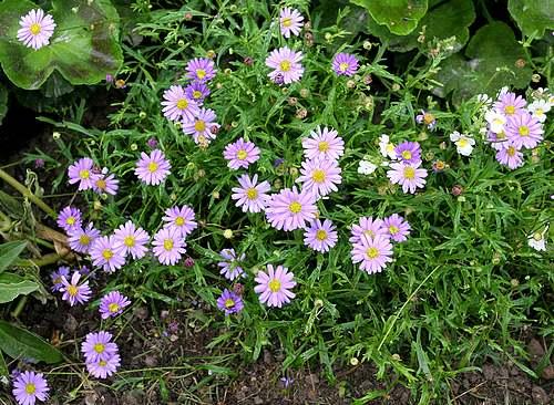 Fleurs cultivées : Brachycome