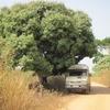 Togo Piste des Plateaux A l'ombre sous un manguier