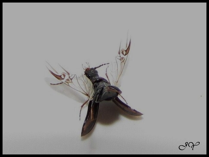 Melinopterus prodromus.