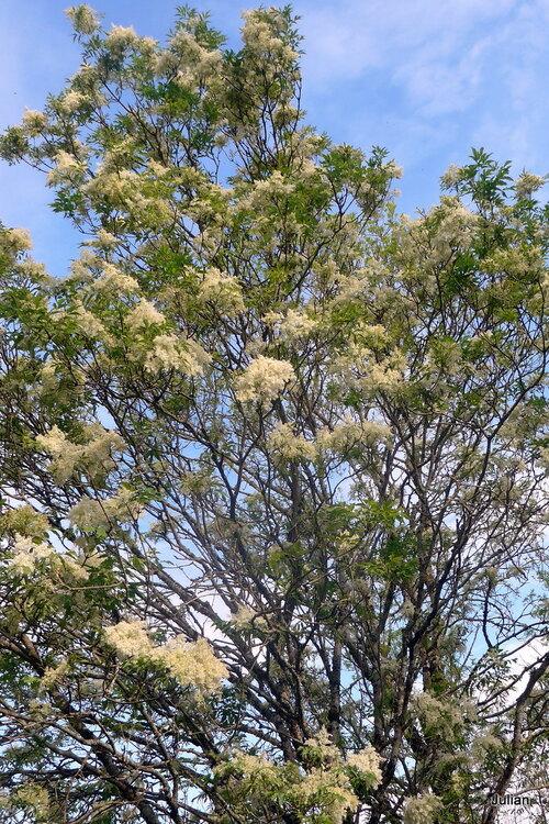 Voila un curieux arbre avec des panaches blancs !