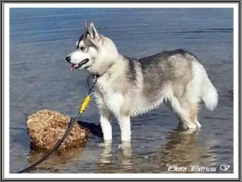 Husky et eau