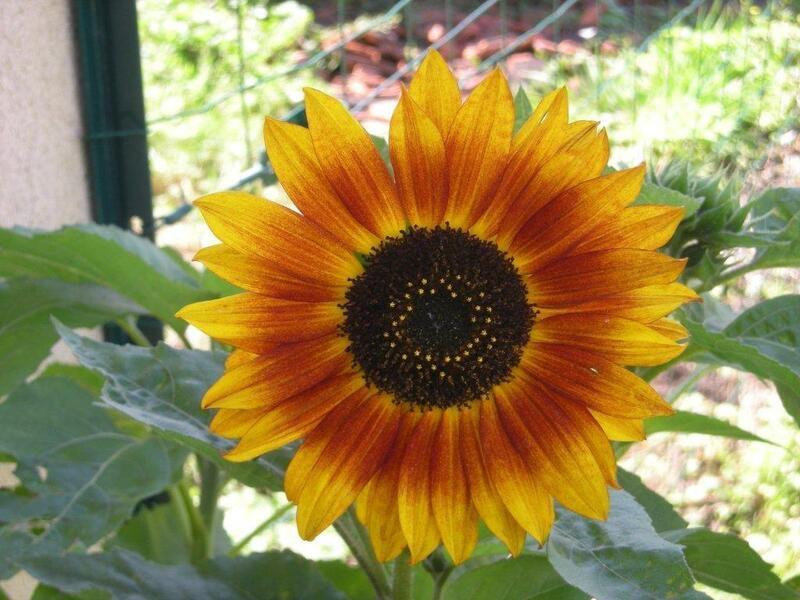 Le fleur d'or du petit jardin ....