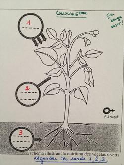 Concours 6ème : la production de matière chez un végétal vert