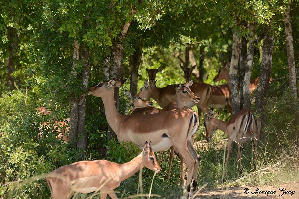 La beauté des impalas
