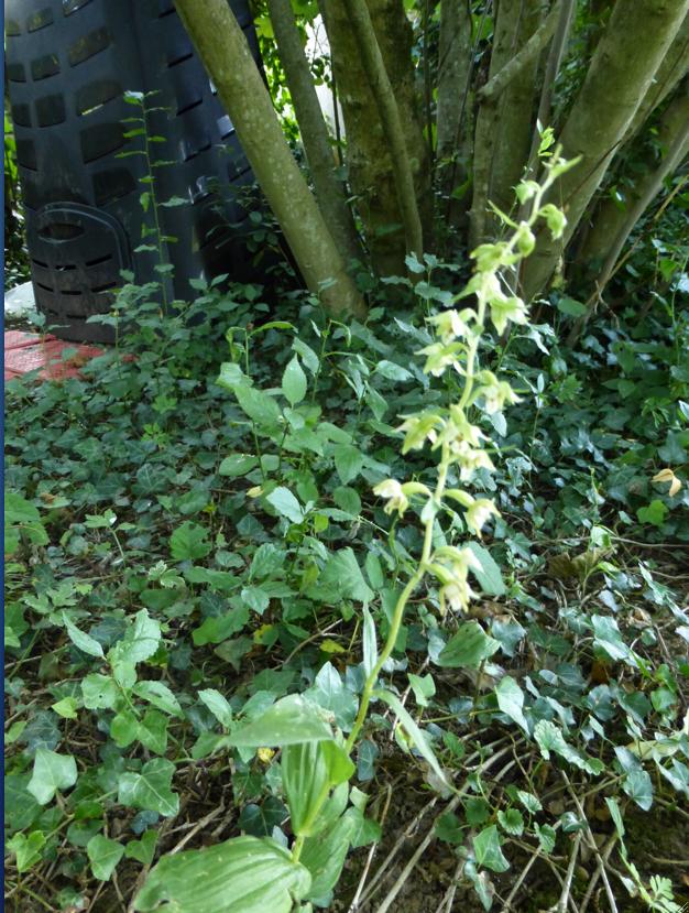 UNE NOUVELLE ORCHIDÉE,  dans mon jardin.
