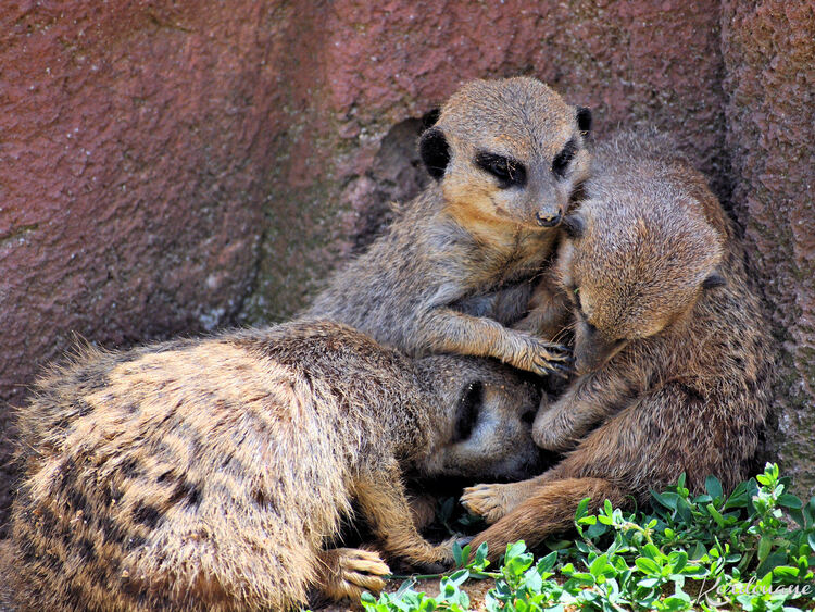 Photo d'une famille de Suricates - Zoo de Beauval