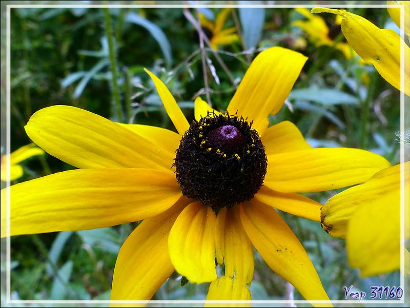 Rudbeckie tardive ou hérissée, Marguerite jaune, Black-eye Susan (Rudbeckia hirta var. pulcherrima) - Petit Lac Preston - Duhamel - Outaouais - Québec - Canada