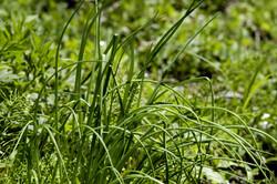 "17 avril : 22 plantes dans notre salade ""sauvage"""