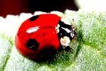 Coccinellidae ou Coccinelle, l'hibernation d'un insecte particulier?