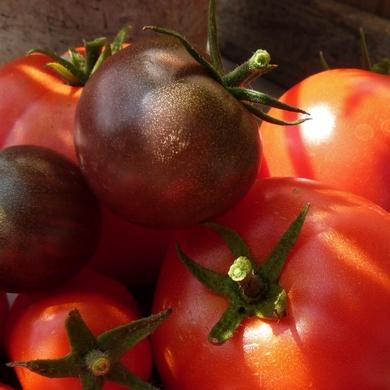 Tomates : première vraie récolte...