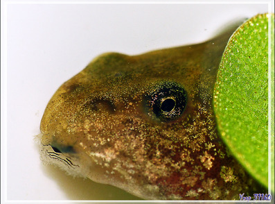 Œil de têtard grenouille - Lartigau - Milhas - 31