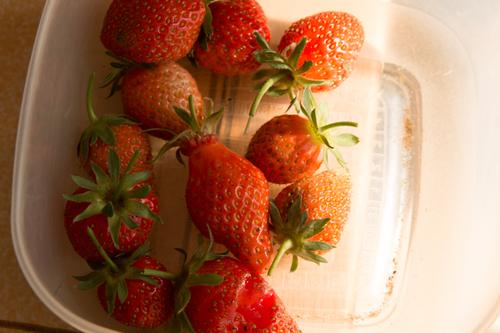 Première petite récolte de fraises au jardin ce Dimanche