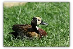 Dendrocygne veuf - Parc des oiseaux