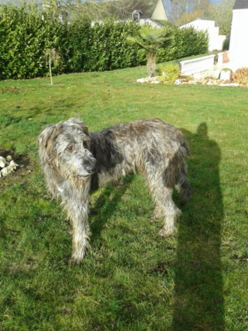 "Irish Wolfound environ 2 ans à l'adoption, Urgent , "" Lévriers en détresse """