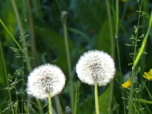Fleurs du Champsaur (2)