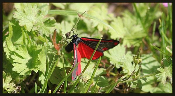 papillon rouge et noir8
