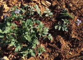 Erodium ciconium  -  érodium bec de cigogne