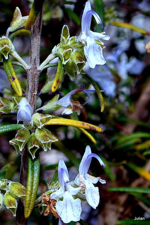 Fleurs du romarin