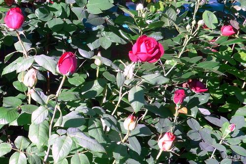 Au marché : des roses (3)