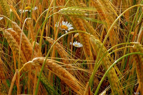 Michèle : du blé et des ombelles !