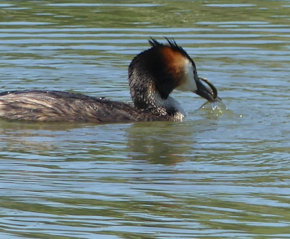 Les grèbes huppés au parc ornithologique du Teich...