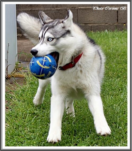 Husky et ballon