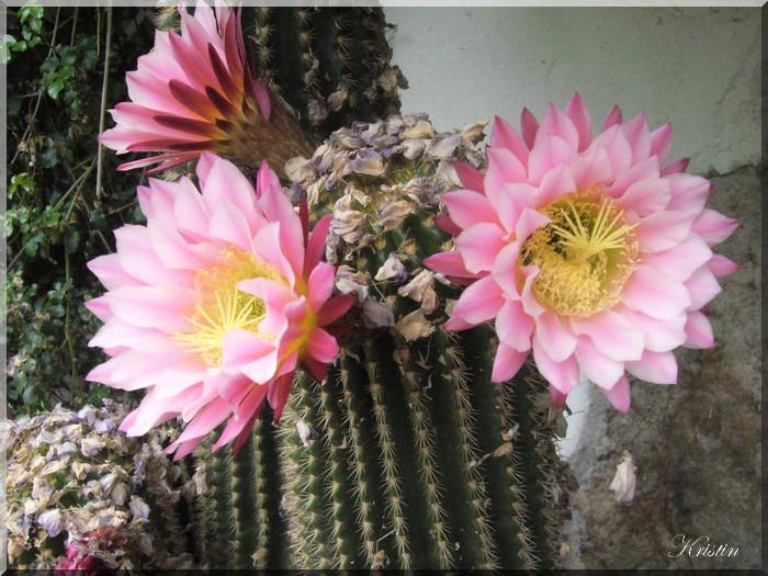 cactus monstre