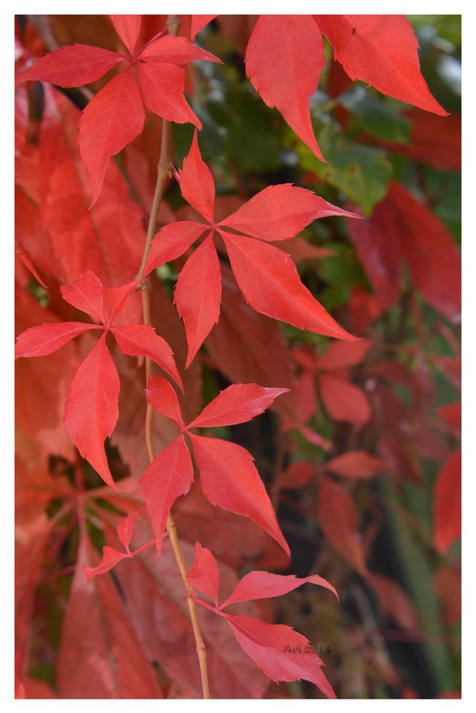 Couleurs d'automne : la vigne vierge