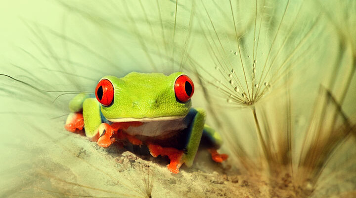 grenouille-animal-photo-macro23