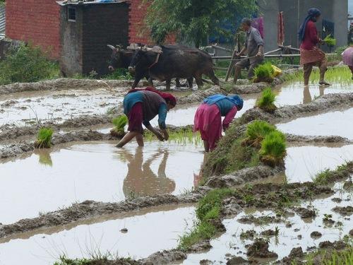 le travail dans les rizières