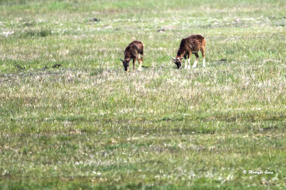 Femelles mouflons