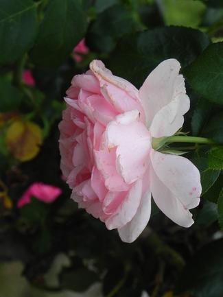 Remontée du rosier-tige Comtesse de Ségur de Delbard