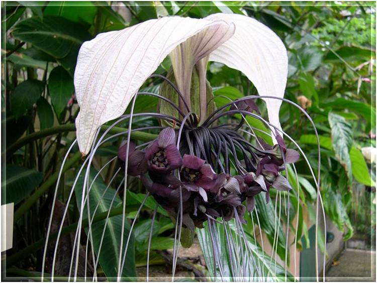 Такка  Tacca описание и уход на FloralWorldru