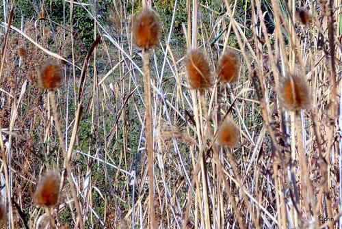 Les chardons en automne