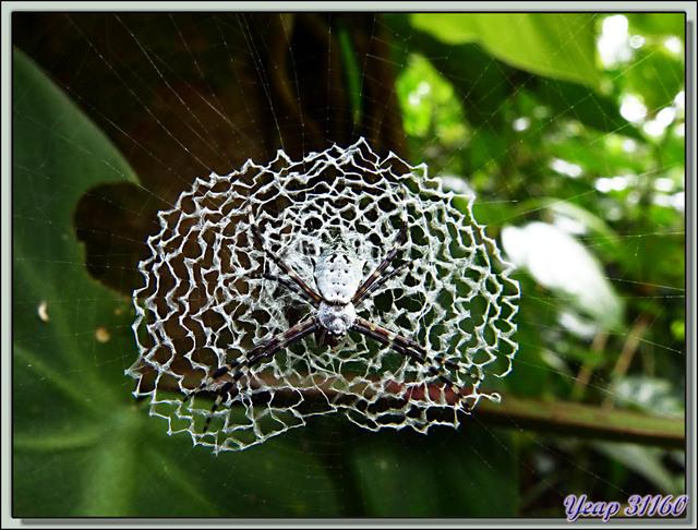 Blog de images-du-pays-des-ours : Images du Pays des Ours (et d'ailleurs ...), Argiope (argentée?) et son superbe stabilimentum en dentelle - Puerto Viejo de Talamanca, Costa Rica