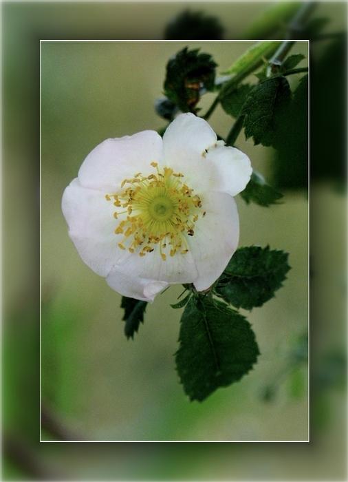 Fleur des poètes
