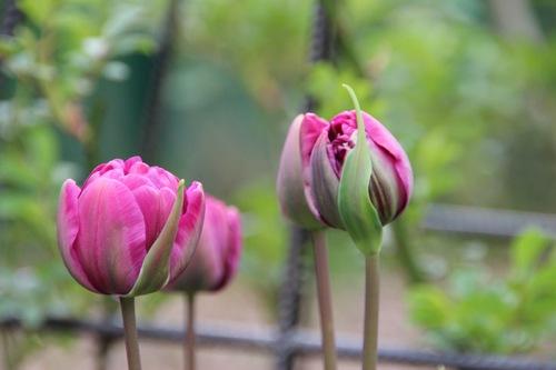 Le bal des tulipes